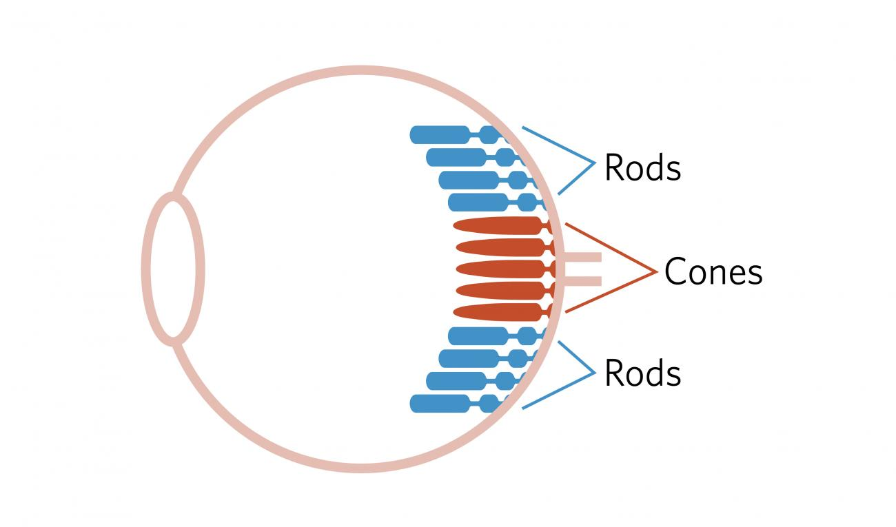 Diagram of the eye, including a small number of cone receptor cells in the center of the back of the eye, and a larger set of rod cells filling the rest of the back of the eye.