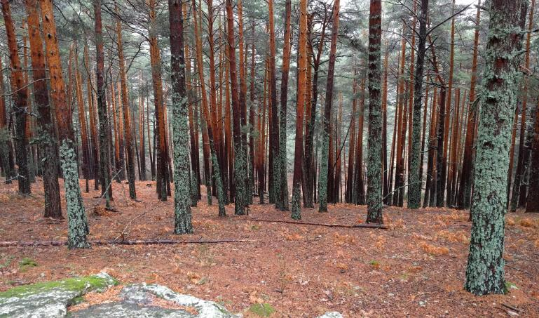Trees at Cercedilla