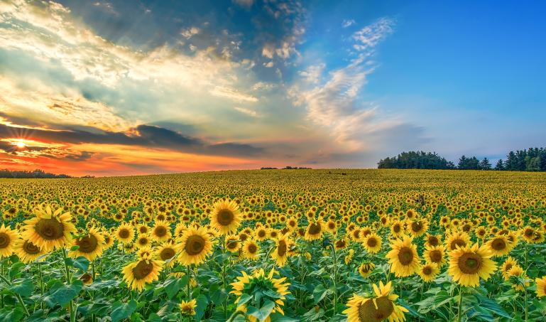 Sunset over a field of sunflowers