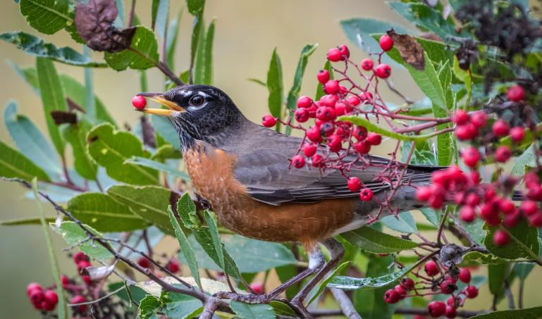 Photo of American Robin Eating A Berry