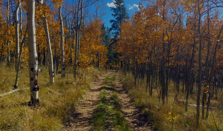 Jeep trail through an aspen forest in autumn.