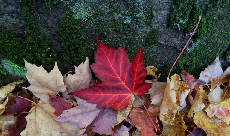 A photo of maple leaves in the fall.