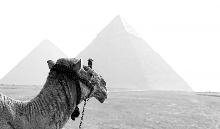 A Camel Stares at Pyramids in the Distance