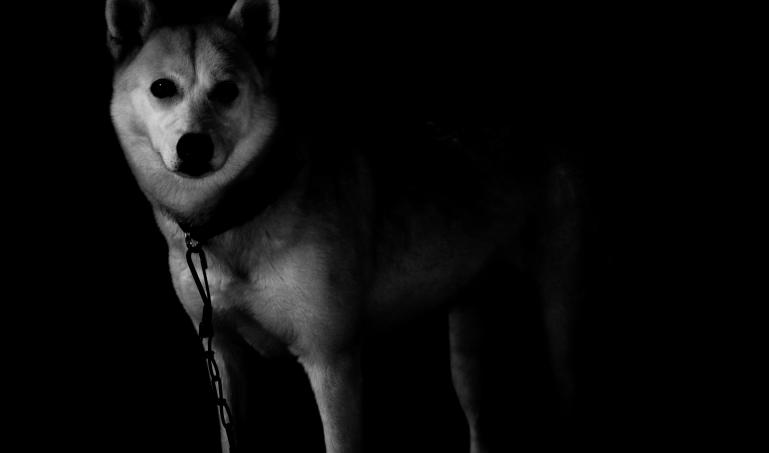 Black and White photo - Wolf